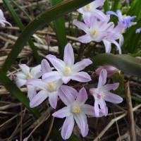 春の花(北海道沙流郡日高町日高地区)