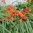 モントブレチアという花