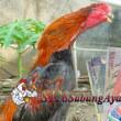 Sabung Ayam Berbagi Info Ayam Terjual Dengan Harga Serumah