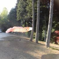 4月の日記28 イセヒカリ発芽 鯉泳ぎ始めました!