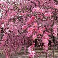 淡路島 村上邸の枝垂れ梅 八分咲です 2月24日
