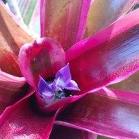 ネオレゲリア花