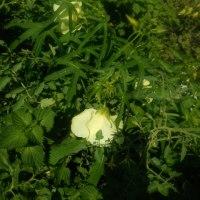 市民菜園058 花おくら