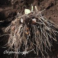 里芋の収穫  くらしのアンテナに掲載されました