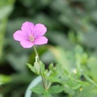 こぼれ種から秋の花