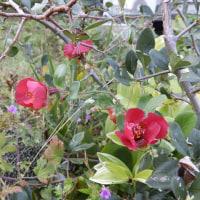 10月23日(日曜日)「木瓜の花」(ピエロ)