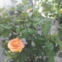 薔薇、ブーゲンビリア、ゼラニウム、ハイビスカスなどなど