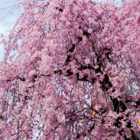 忘れぬうちに桜