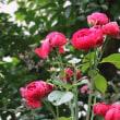 ☆きょうの庭バラ 7/24&孫ちゃんとご対面