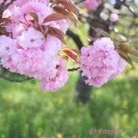 ぼたん桜*