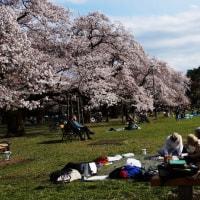 スケッチ 小金井公園の桜