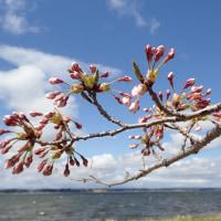 湖畔のサクラが咲き始めました!