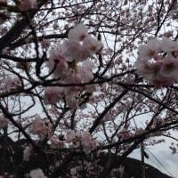 〜桜雨〜 桜に関する言葉って素敵ですね。
