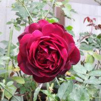 きょうの薔薇1023