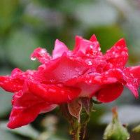 今治市菊間町のかわら館のバラが咲いています