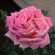 神代植物公園のバラ2011秋543