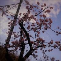 『河津桜』