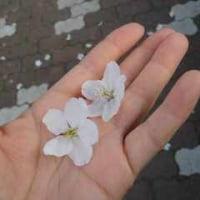 桜、2007
