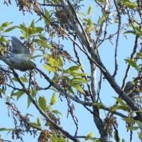 クヌギの木で、動き回っていたマヒワ。