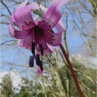 ネコノメ草・金剛山植物観察会へ参加して。   17・4月22日