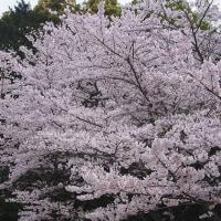桜  (Vol.1433)