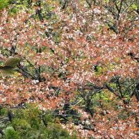 山桜と熊ちゃん