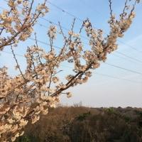 今年の桜の咲き具合in浜松