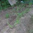 生姜の土寄せ