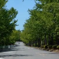 初夏の銀杏並木