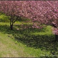 椎八重公園の八重桜
