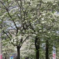 楽書き雑記「名古屋・昭和区の木『ハナミズキ』の街路樹も満開です」