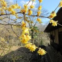 マンサク、福寿草が咲いています。
