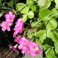 11月29日(火曜日)「花かたばみ」(てまりさん)