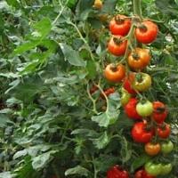 産地から、朝採りトマトが届きました! 旬のFRESH-TOMATOです。