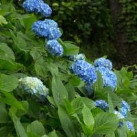 6月26日(月)  秩父 美の山公園 紫陽花(2)