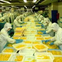 ◆黄金の輝き「カズノコ」の生産がたけなわ・・・・水産加工会社で。