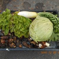 今日の収穫 サトイモ ダイコン キャベツ サラダ菜