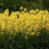 野菜畑の完成  菜の花