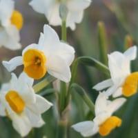 和水仙の花