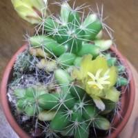 たった1日の花「サボテン」