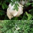「モリアオガエル」の産卵