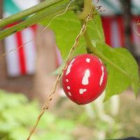 オキナワスズメウリの赤い実