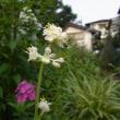 藪茗荷の花