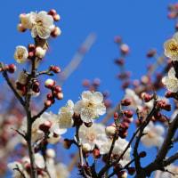 1月なのにもう梅が咲いた!