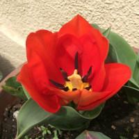 チュリップが咲いた
