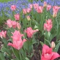 大通り公園の春の花壇