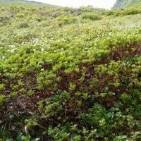 秋田駒ヶ岳 これチングルマの群生なんです、ムーミン谷の一角