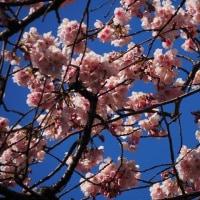 散歩コースの河津桜