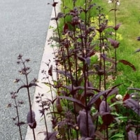 町の広場にレアな宿根ボーダー花壇が!
