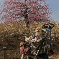 満開のしだれ梅 鈴鹿の森庭園再訪 8